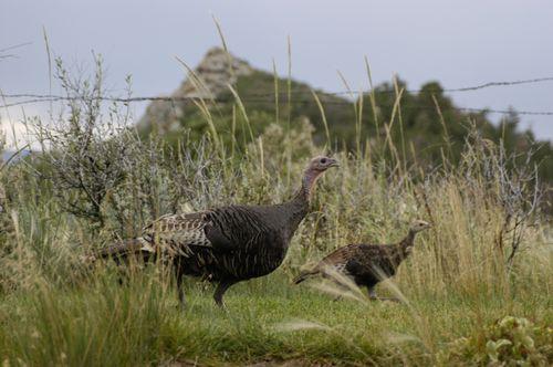 Turkeys Brogans Bluff 03