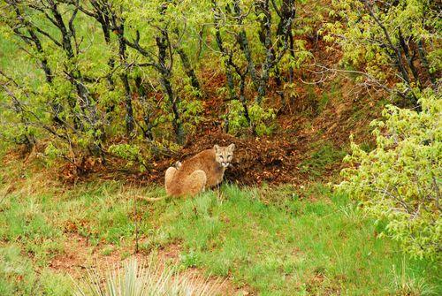 Cougar Brogans Bluff A M09