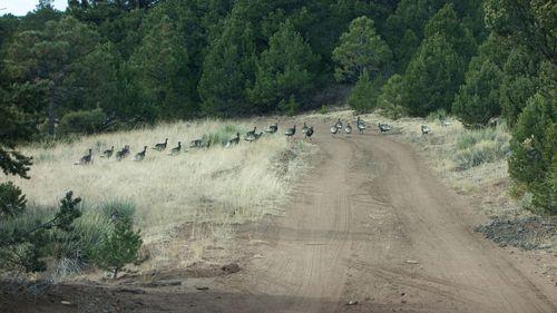 Turkeys Elk Hunt M12-14